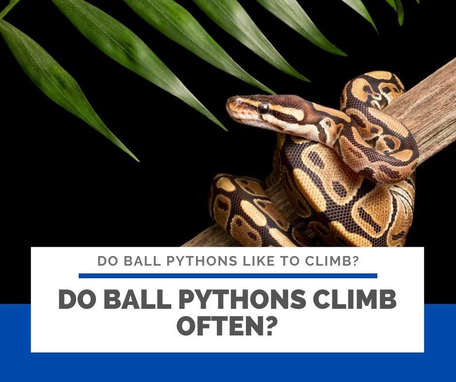 Do Ball Pythons Climb Often?