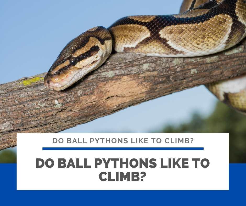 Do Ball Pythons Like To Climb?
