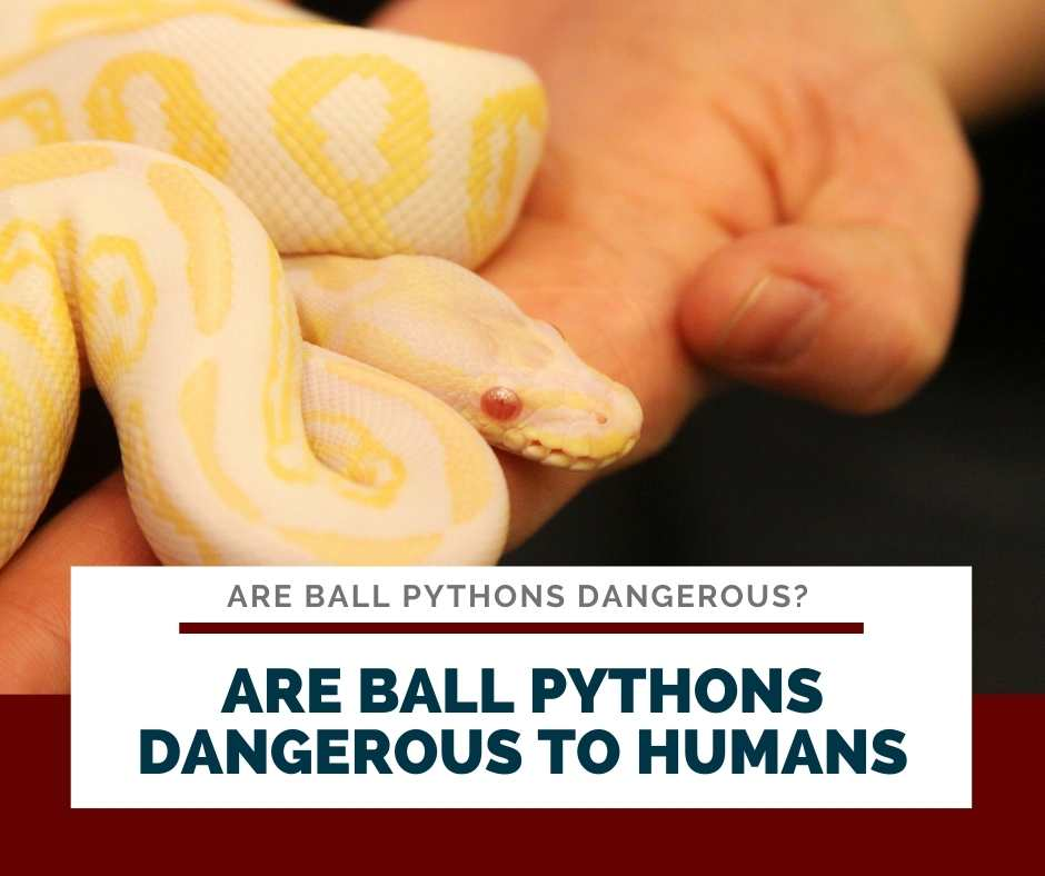 Are Ball Pythons Dangerous To Humans
