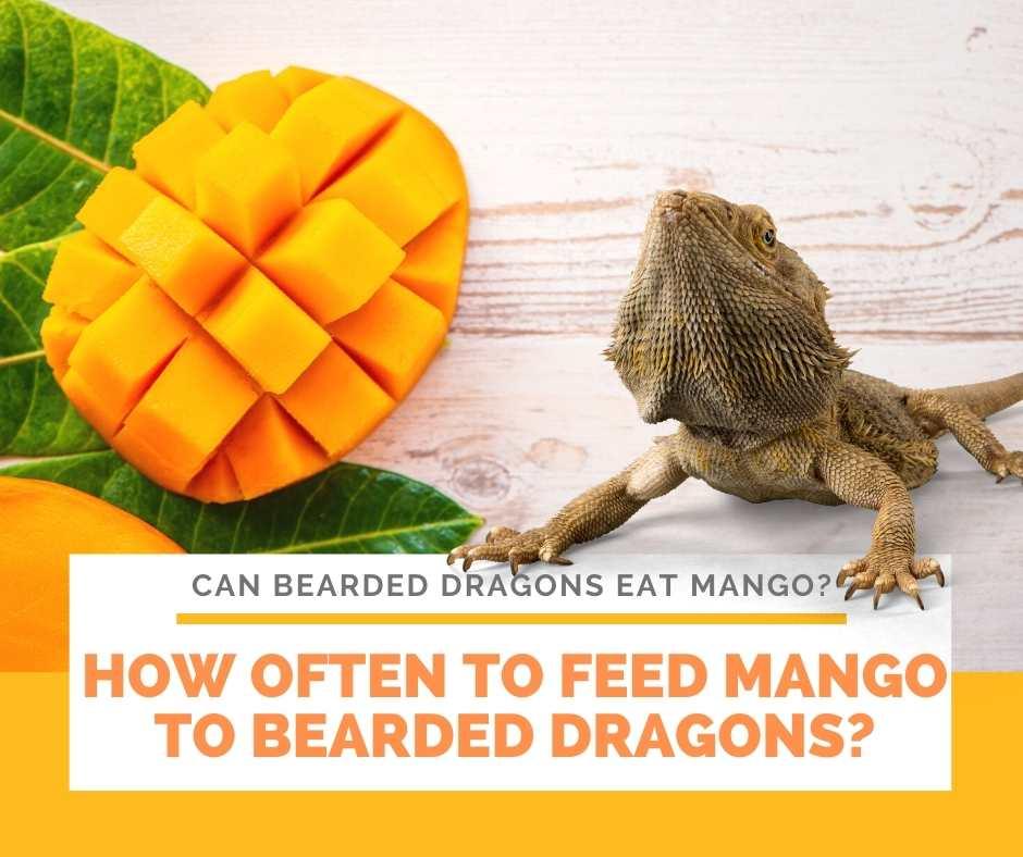 How Often To Feed Mango To Bearded Dragons?