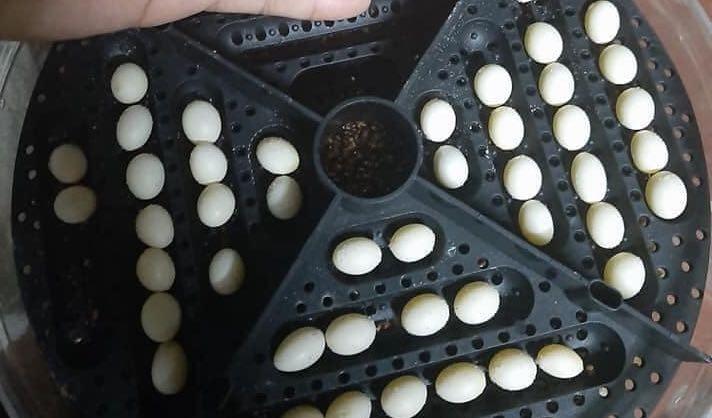 Fertile Bearded Dragon Eggs