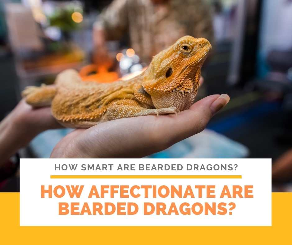 How Affectionate Are Bearded Dragons?