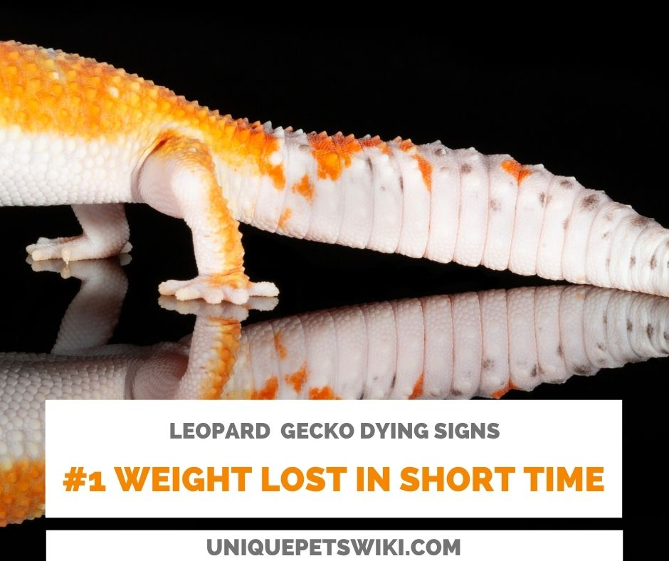 Leopard Gecko Weight Loss Might Be A Dying Sign