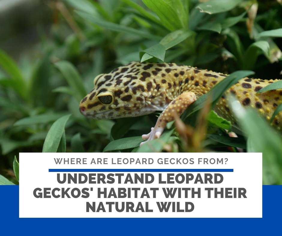 Understand Leopard Geckos' Habitat With Their Natural Wild