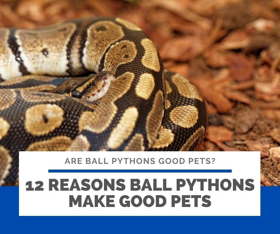 12 Reasons Ball Pythons Make Good Pets