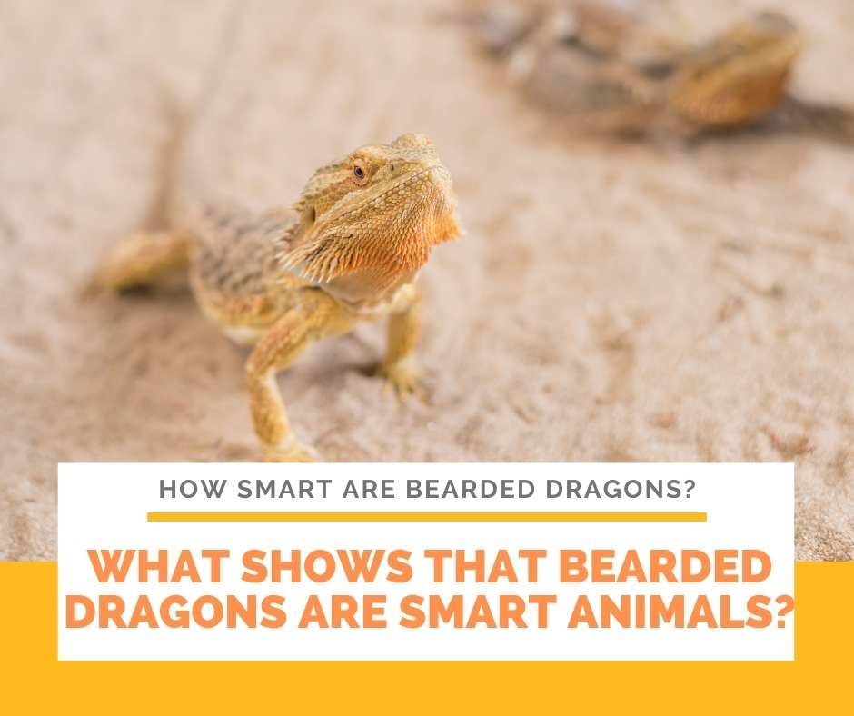 What Shows That Bearded Dragons Are Smart Animals?
