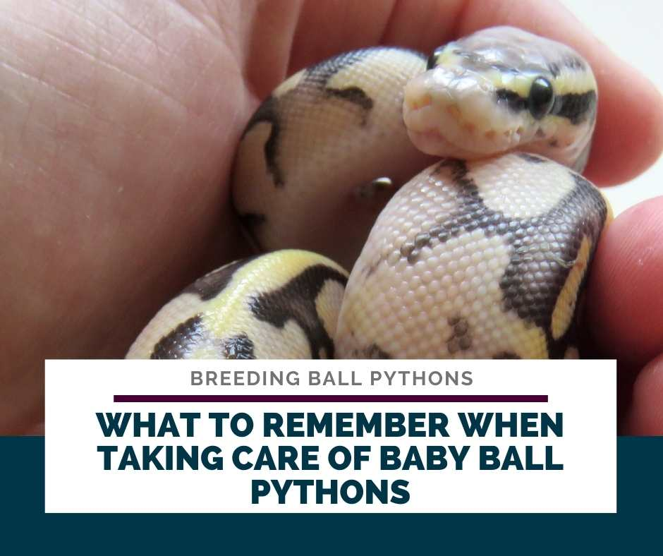 What To Remember When Taking Care Of Baby Ball Pythons
