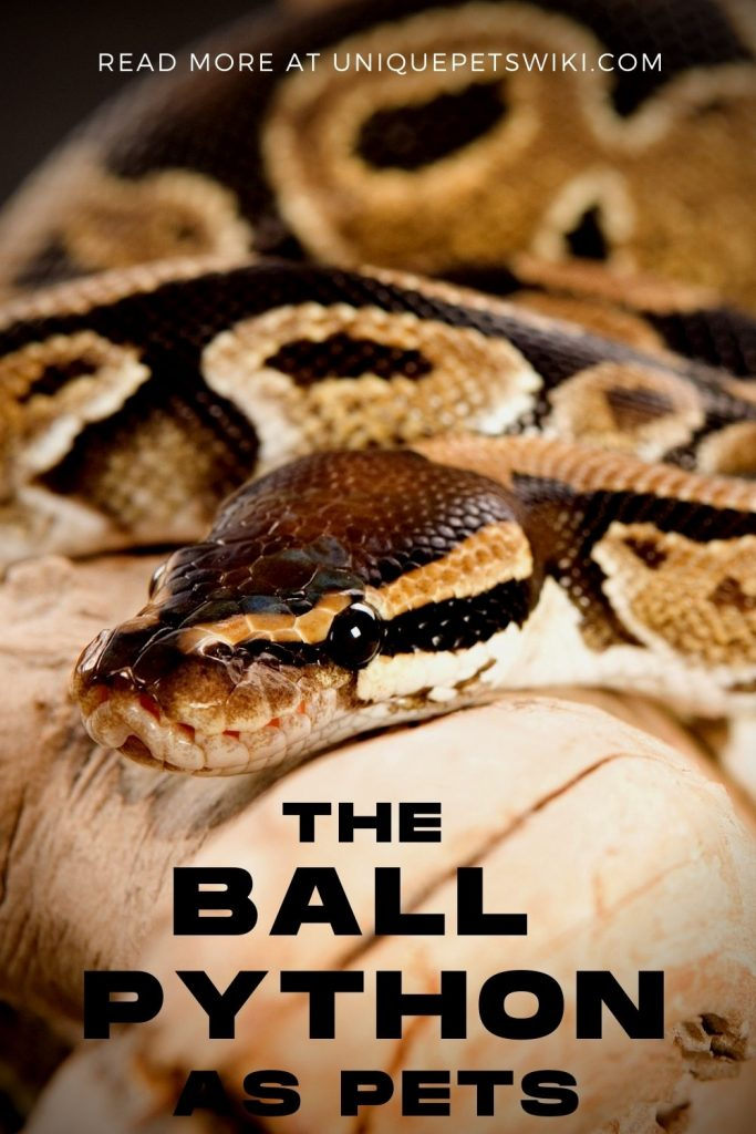 Ball Python as Pets Pinterest Pin