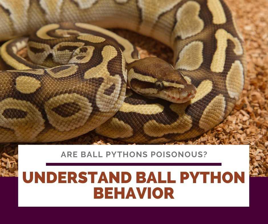 Understand Ball Python Behavior