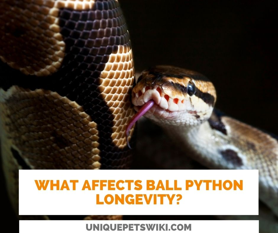 What Affects The Life Expectancy Of Ball Pythons