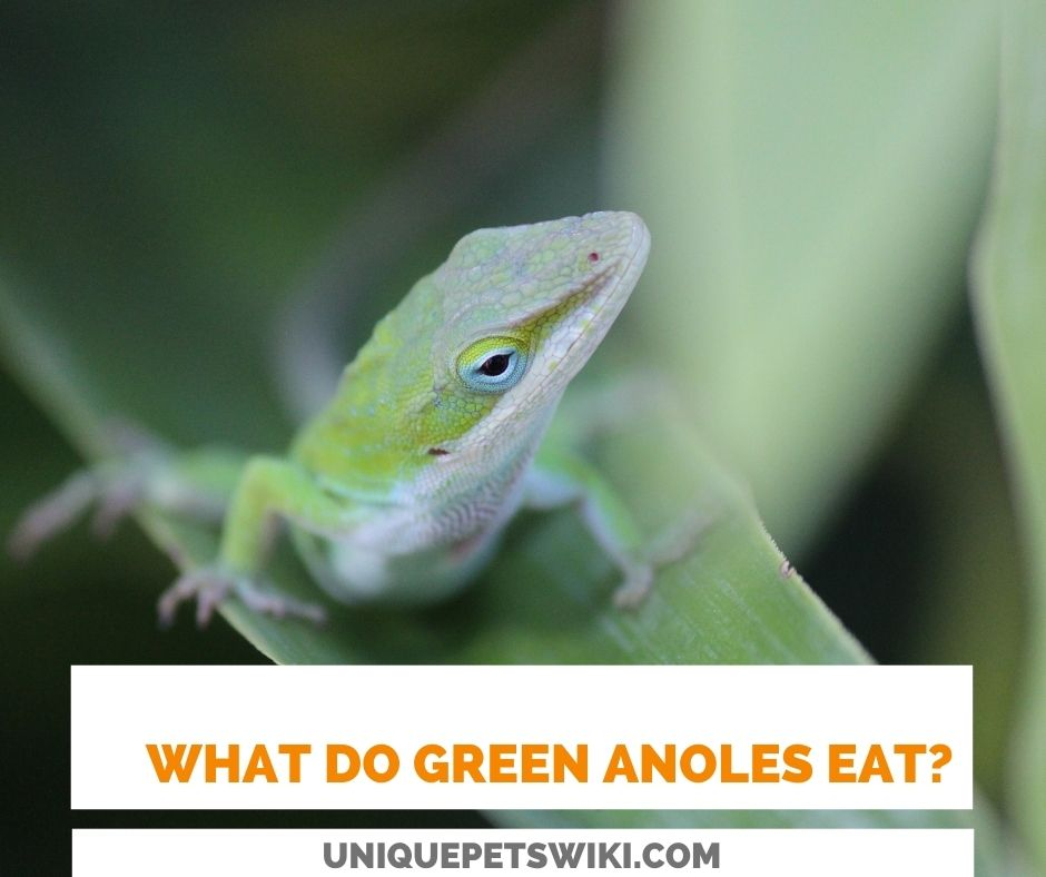 what do green anoles eat