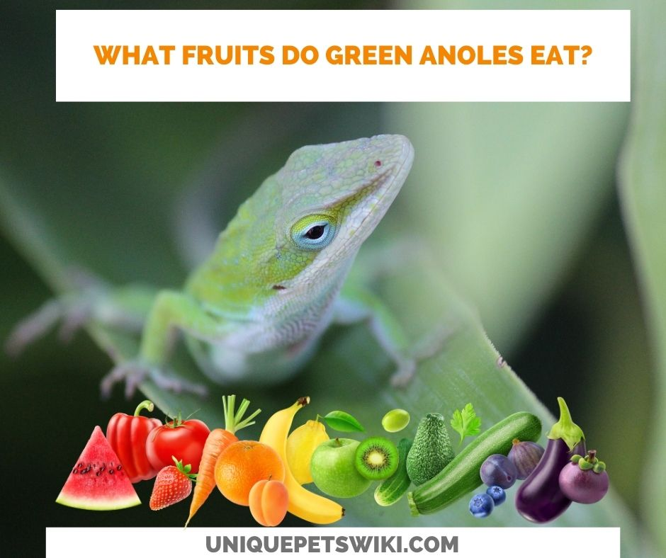 what fruits do green anoles eat?