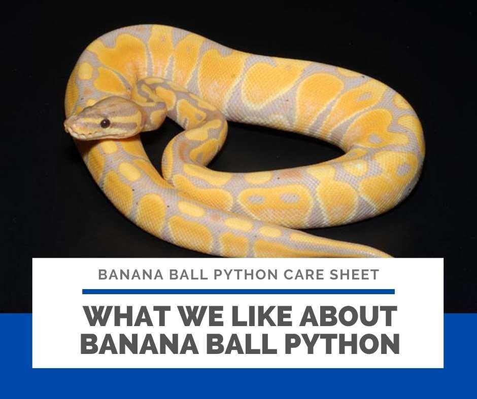 What We Like About Banana Ball Python