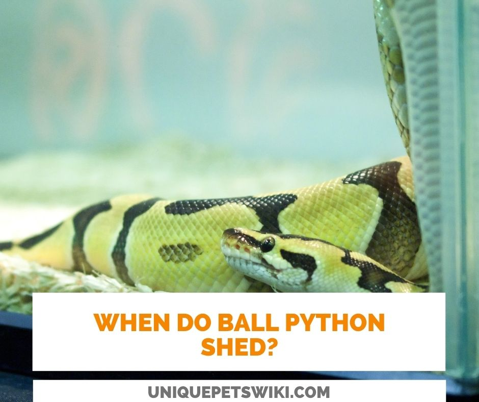 When Do Ball Pythons Shed?