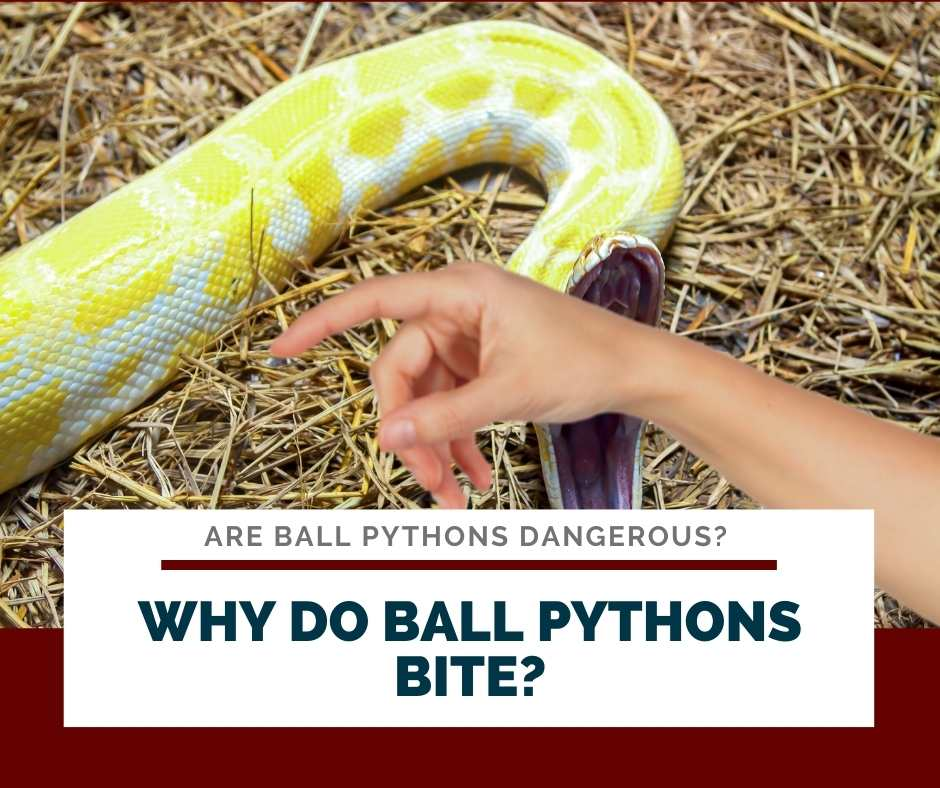 Why Do Ball Pythons Bite?