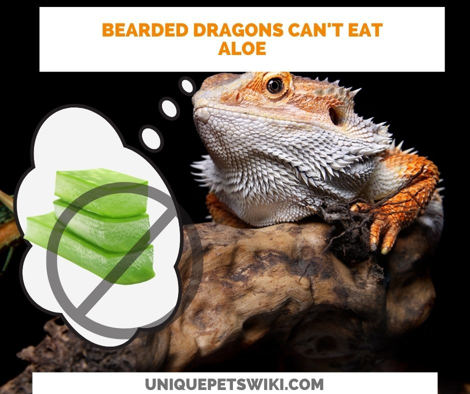 Can Bearded Dragons Eat Aloe? Bearded dragons should not eat aloe vera