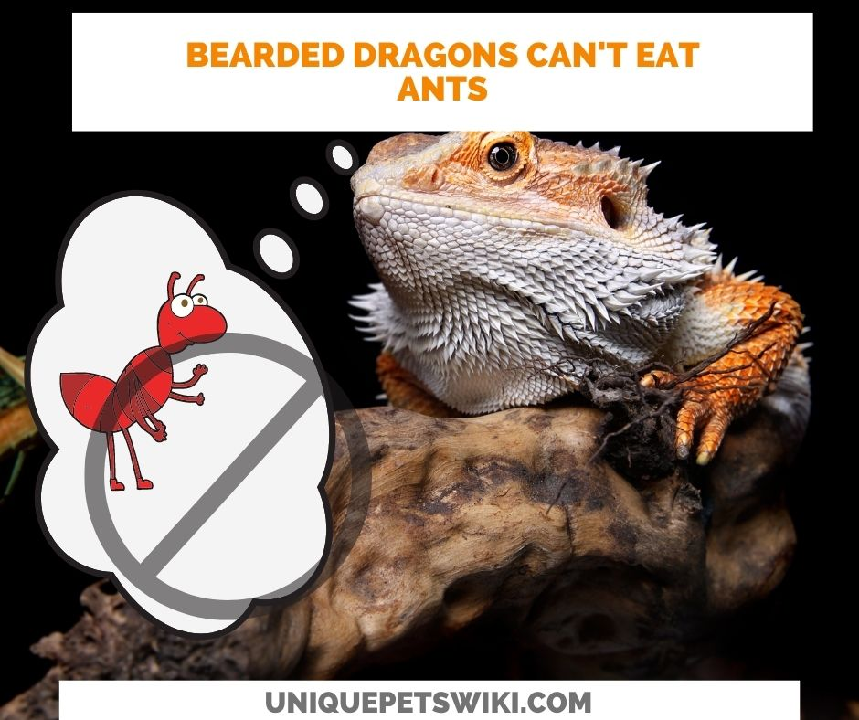 bearded dragons should not eat ants