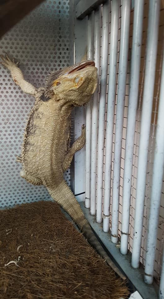 bearded dragon dye after turning white
