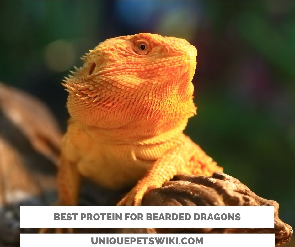 Top 5 best protein for bearded dragons
