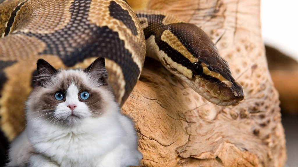 Will A Ball Python Kill My Cat?