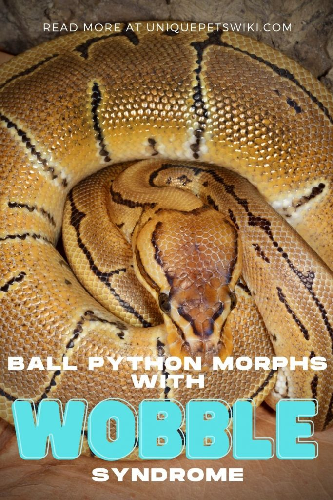 Ball Python Morphs with Wobble Syndrome