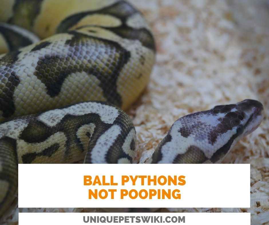 Ball Python Not Pooping