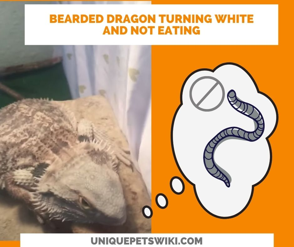 Why Is My Bearded Dragon Turning White And Not Eating?