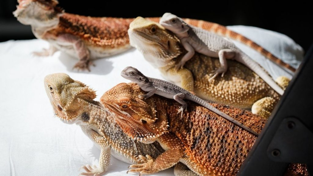 bearded dragons and babies
