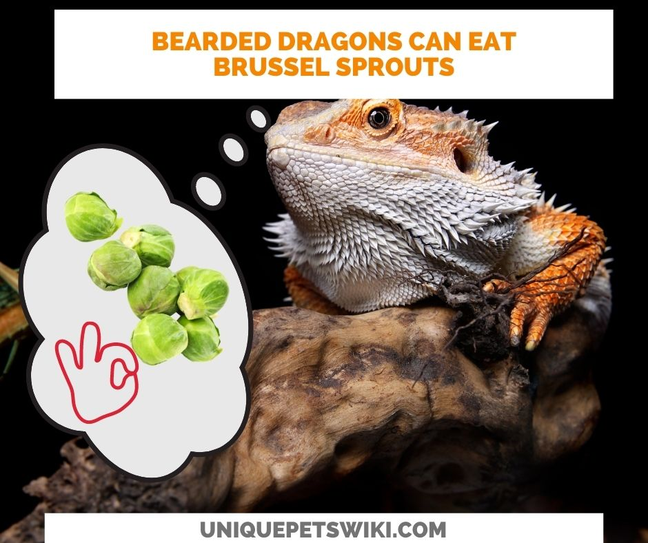 Can Bearded Dragons Eat Brussel Sprouts? Yes