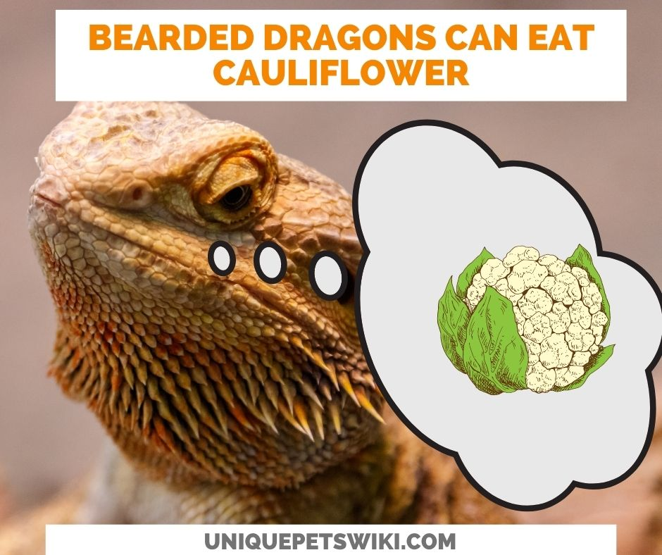 Can Bearded Dragons Eat Cauliflower?