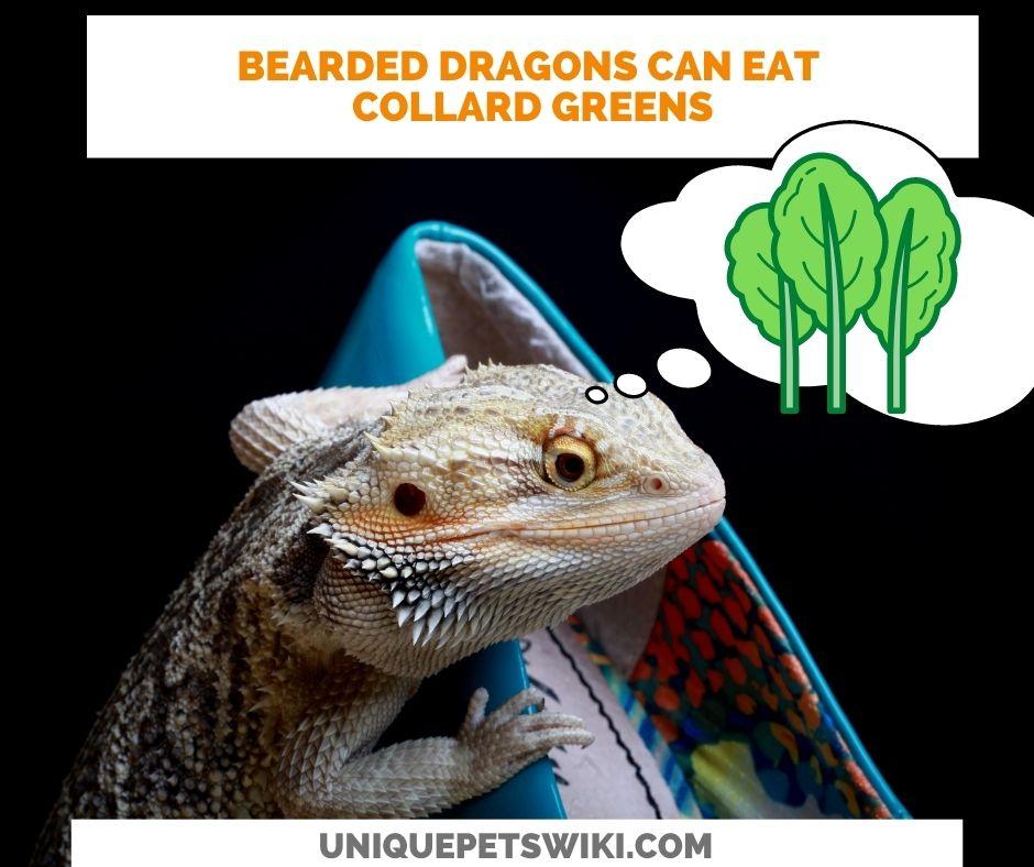 Can Bearded Dragons Eat Collard Greens?