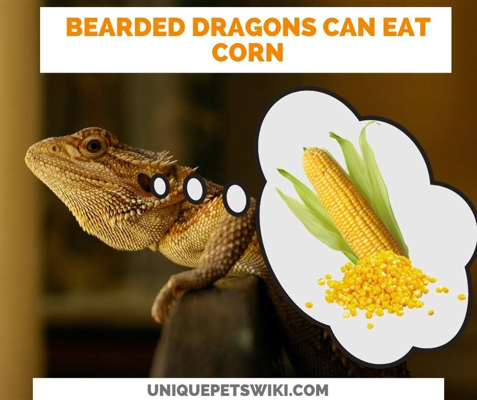 Can Bearded Dragons Eat Corn?