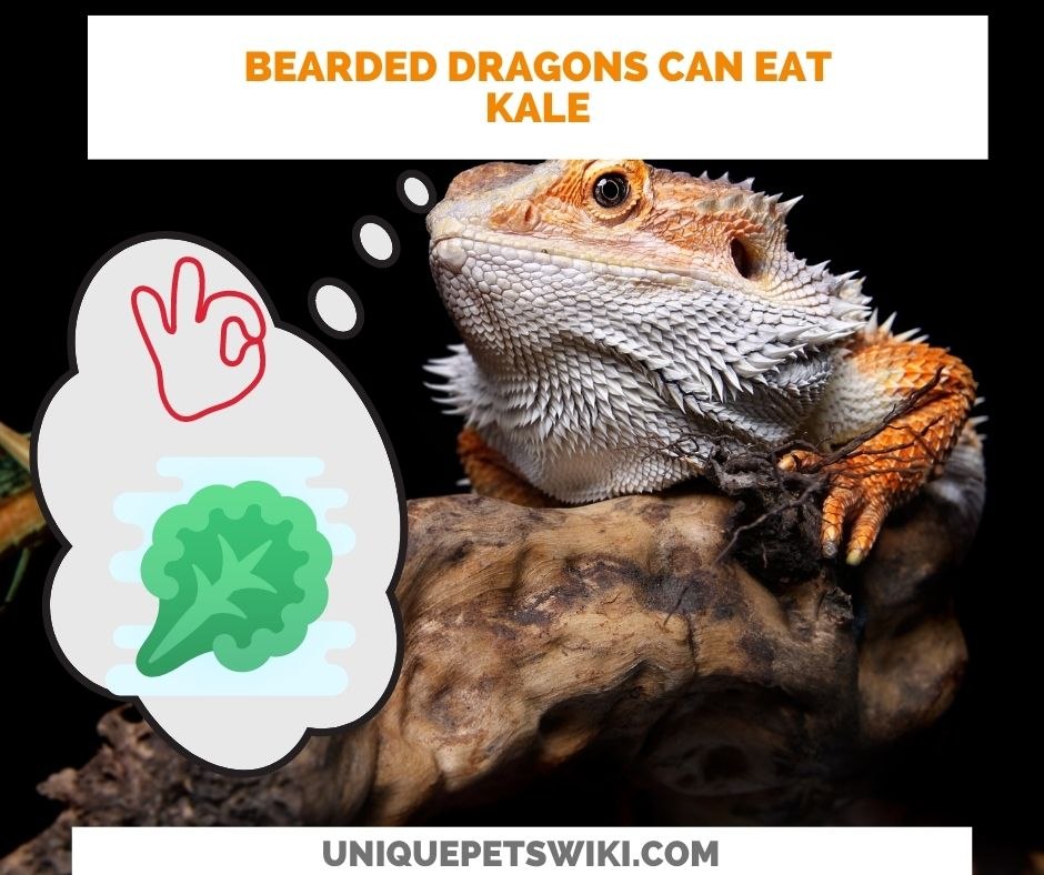 Can Bearded Dragons Eat Kale? Yes they can