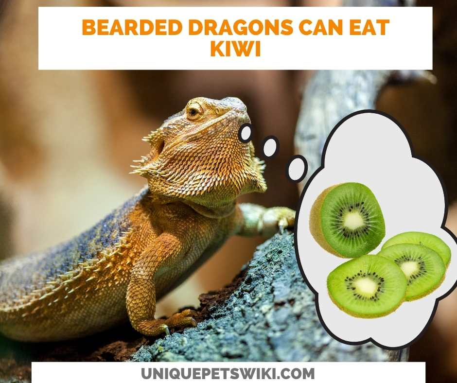 Can Bearded Dragons Eat Kiwi?