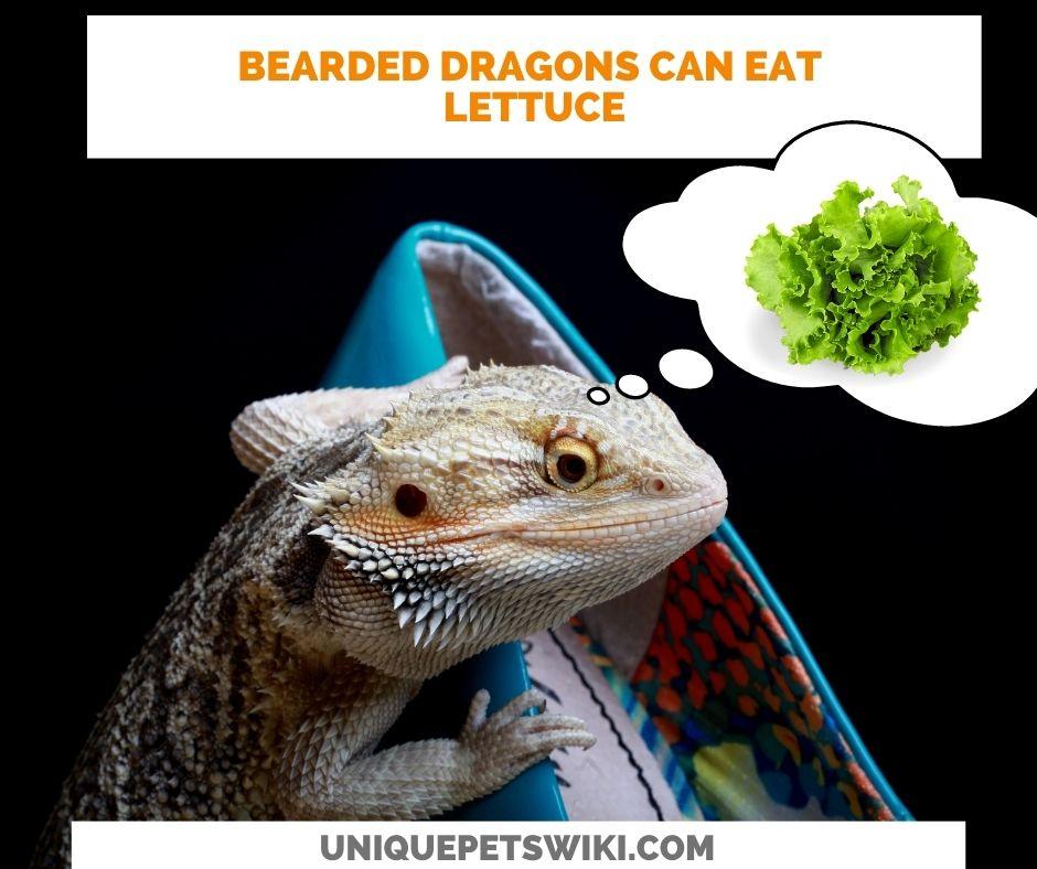 Can Bearded Dragons Eat Lettuce?