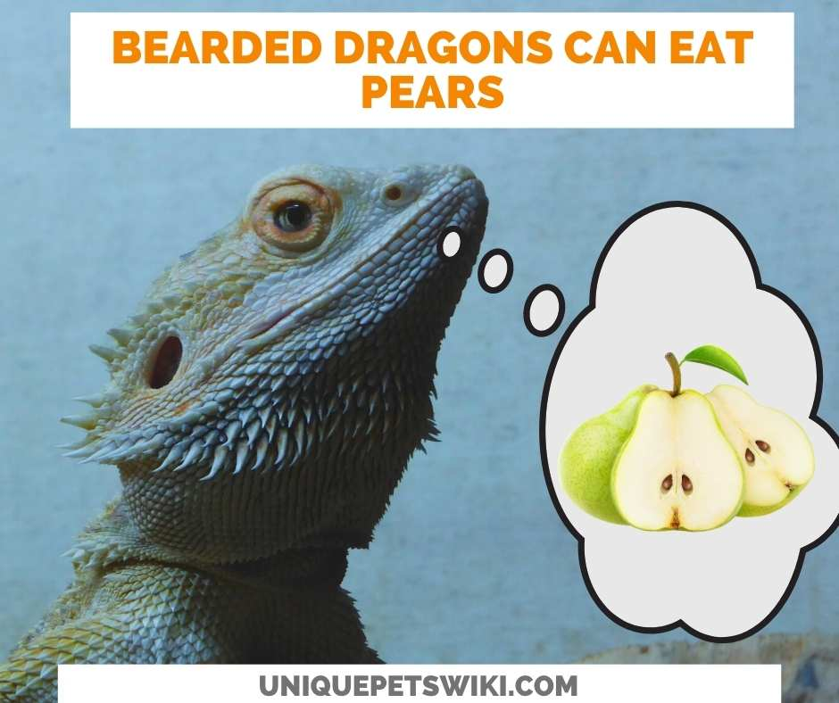 Can Bearded Dragons Eat Pears?