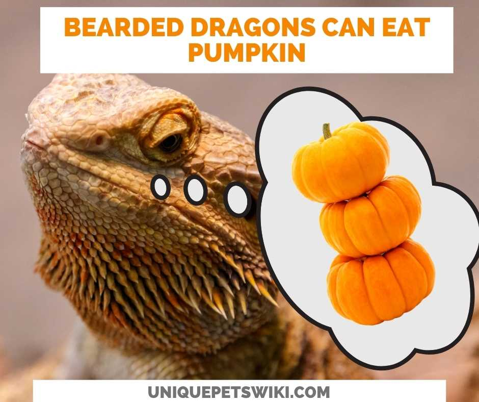 Can Bearded Dragons Eat Pumpkin?
