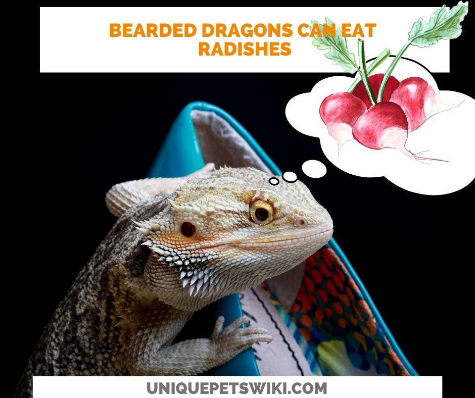 Can Bearded Dragons Eat Radishes?