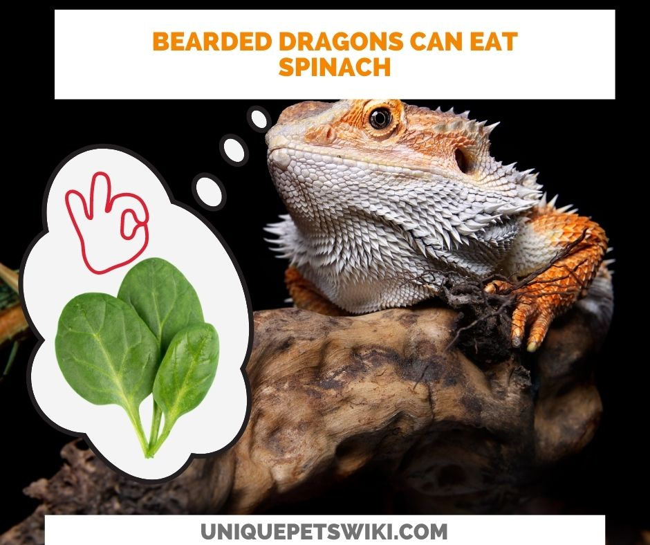 bearded dragons can eat spinach