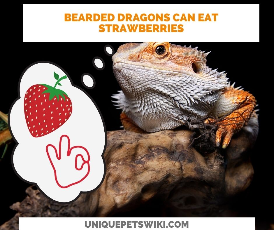bearded dragons can eat strawberries