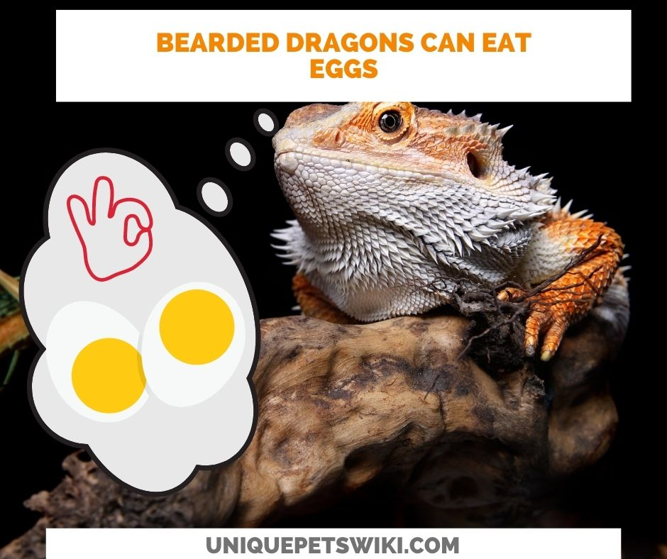 bearded dragons can eat eggs
