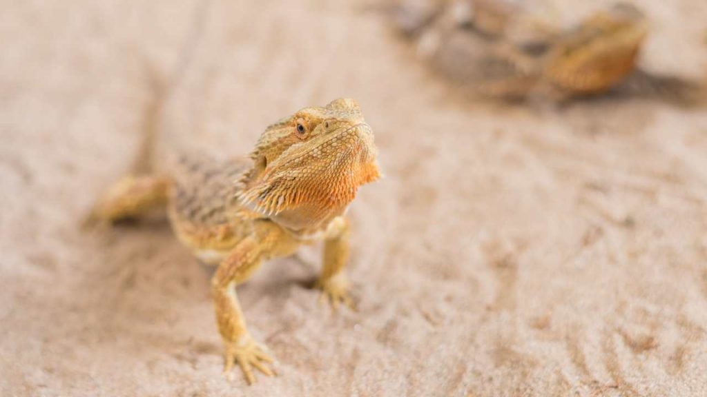 Best Loose Substrate For Bearded Dragons