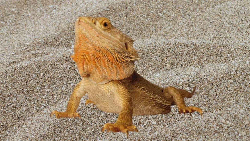Best Calcium Sand For Bearded Dragons