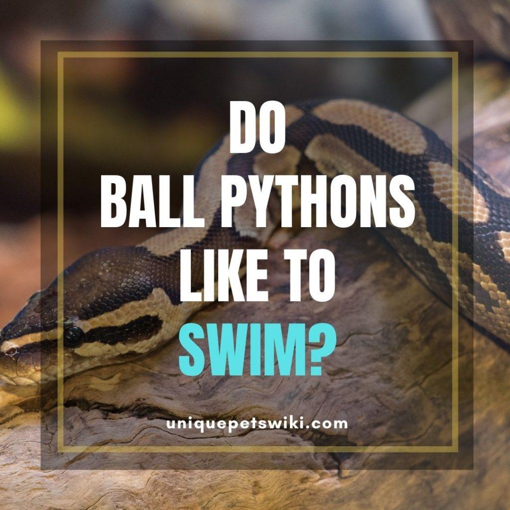 Do Ball Pythons Like To Swim?