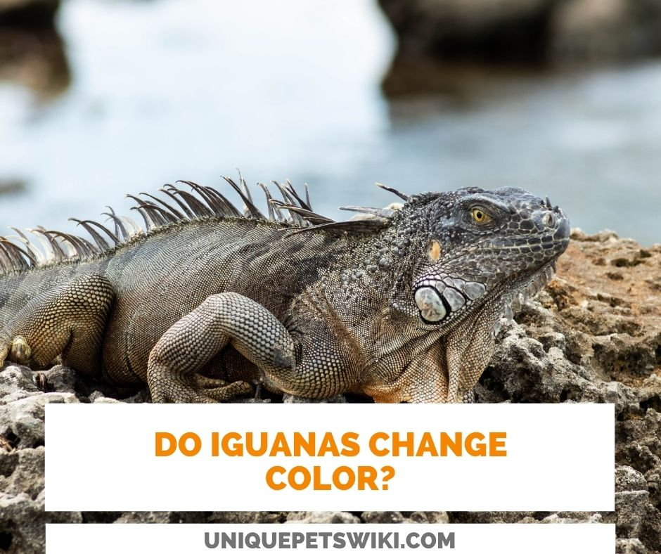 Do Iguanas Change Color