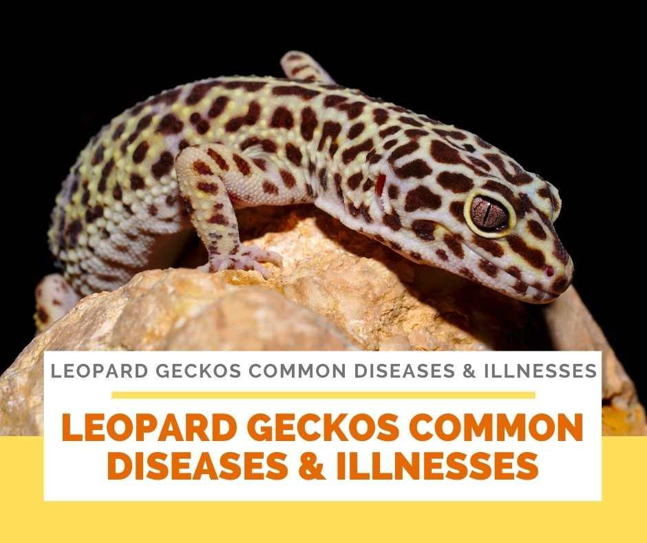 Leopard Geckos Common Diseases & Illnesses