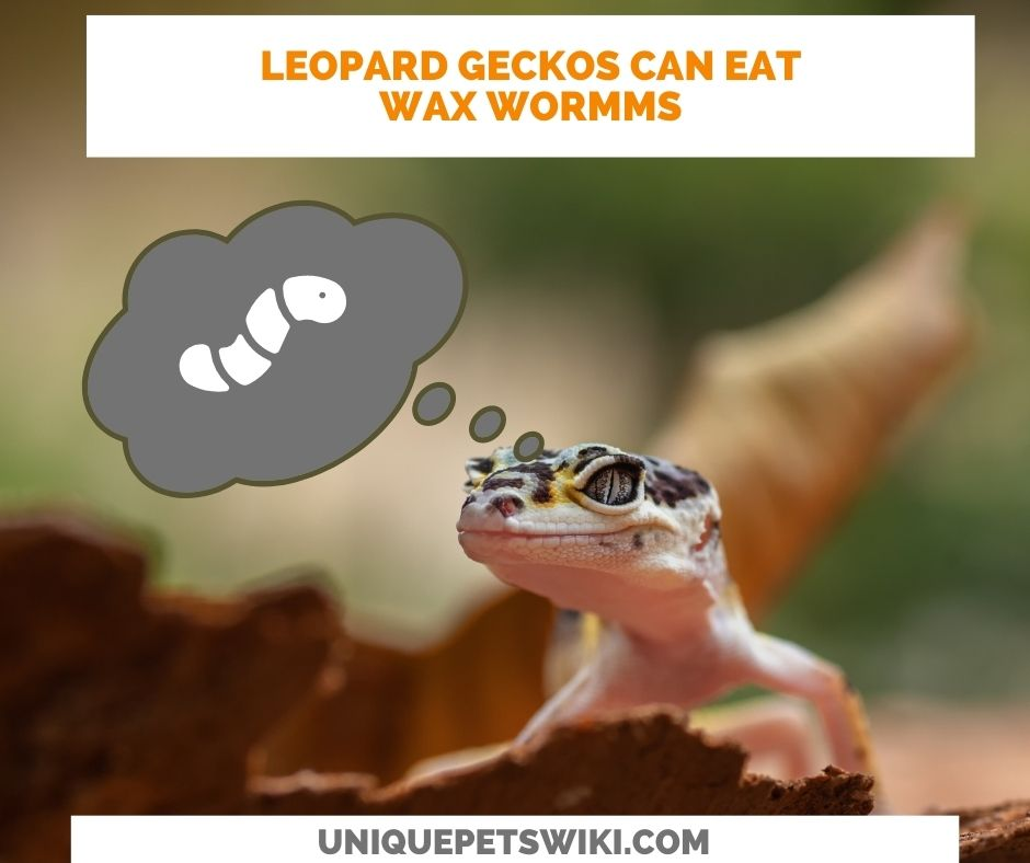 Can Leopard Geckos Eat Wax Worms? Yes, they can eat wax worms