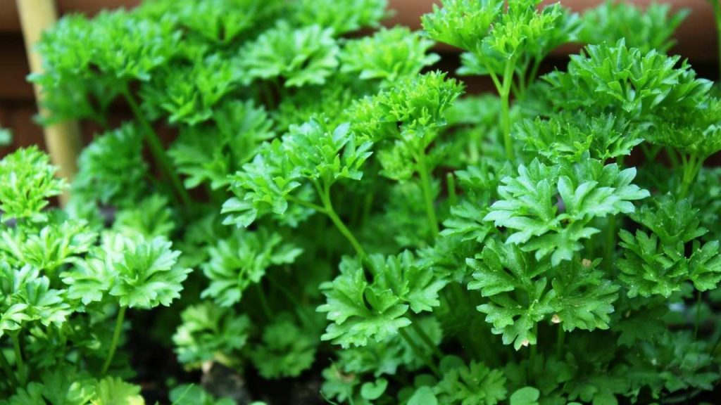 Nutritional Information Of Parsley