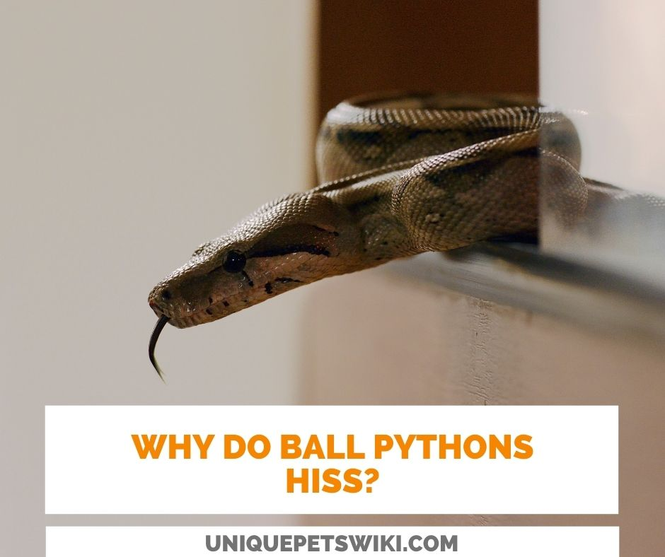 Why Do Ball Pythons Hiss?
