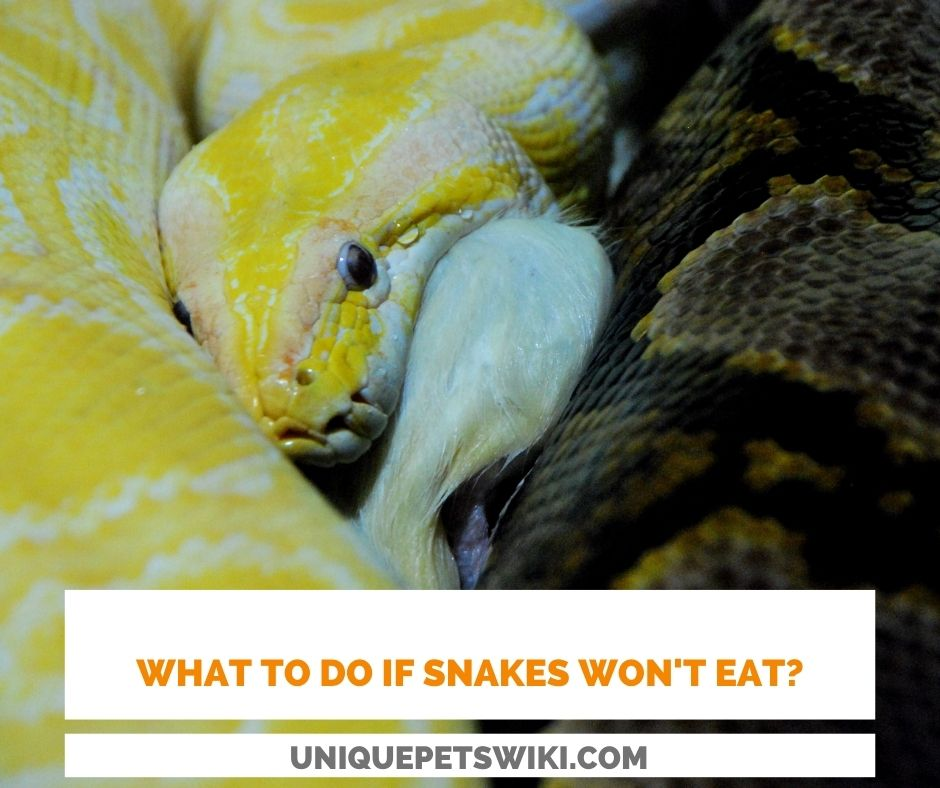 Do you know what to do if your snakes won't eat?